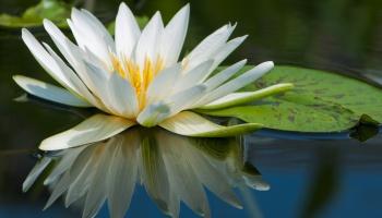Mengenal Bunga Sedap Malam Polianthes Tuberosa Alamendah S Blog