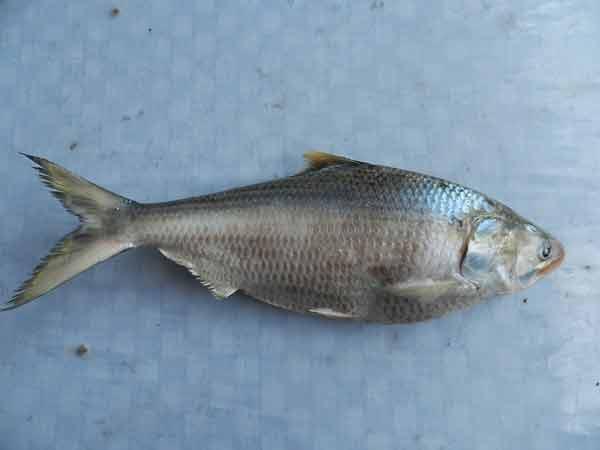 Tenualosa macrura (Ikan terubuk atau Longtail shad)