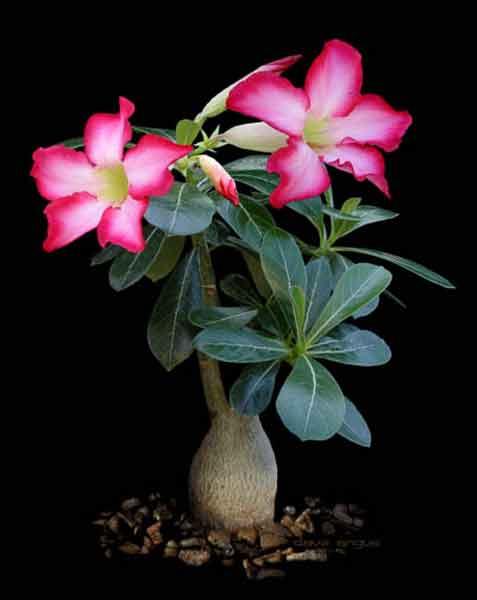 Perbedaan Bunga Kamboja Dengan Adenium Alamendah S Blog