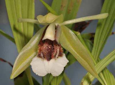 Anggrek Bibir Berbulu atau Coelogyne speciosa subsp. speciosa