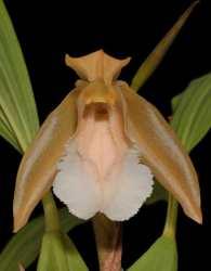 Anggrek Bibir Berbulu atau Coelogyne speciosa subsp. incarnata