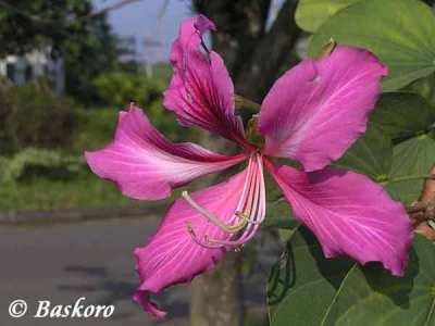 Bunga Kupu-kupu (Bauhinia purpurea)