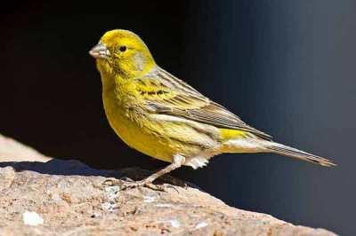 Burung Kenari (Serinus Canaria)