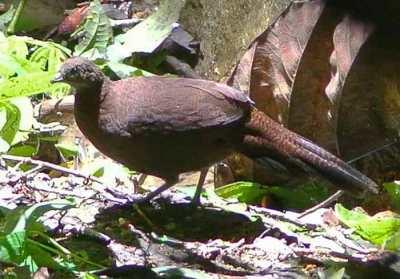 Burung Kuau-kerdil Sumatera