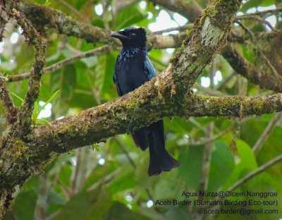 Burung Srigunting Sumatera