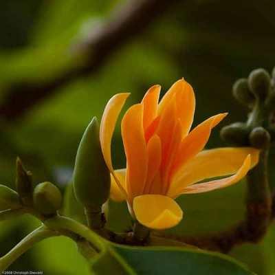 Bunga Jeumpa atau Cempaka Kuning (Magnolia champaca)
