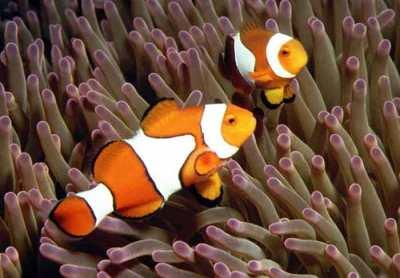 Ikan Badut jenis Amphiprion percula