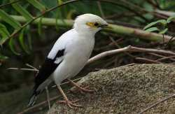 Jalak Putih Sturnus melanopterus