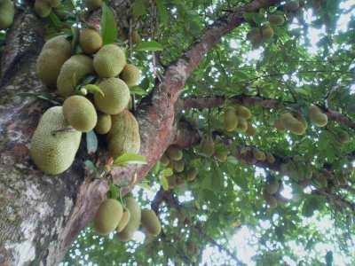 Pohon Cempedak