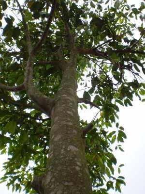 Pohon Gaharu (Aquilaria spp.)