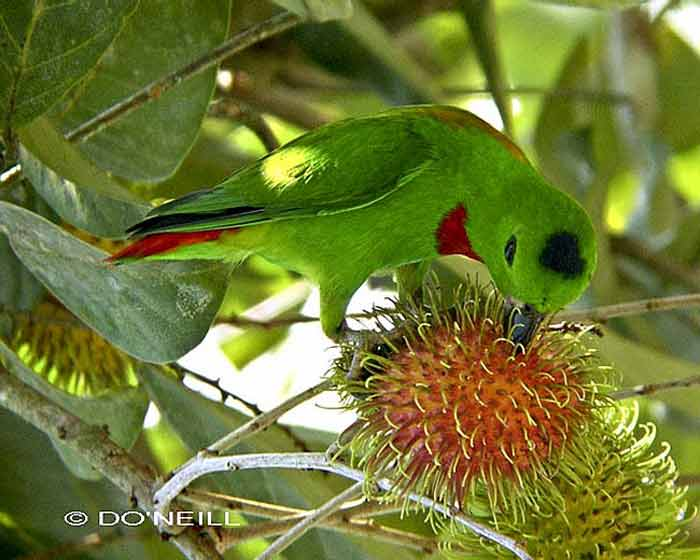 Burung Serindit Melayu Hewan Khas Riau Alamendah S Blog