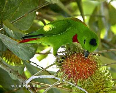 Burung Serindit Melayu atau Loriculus galgulus
