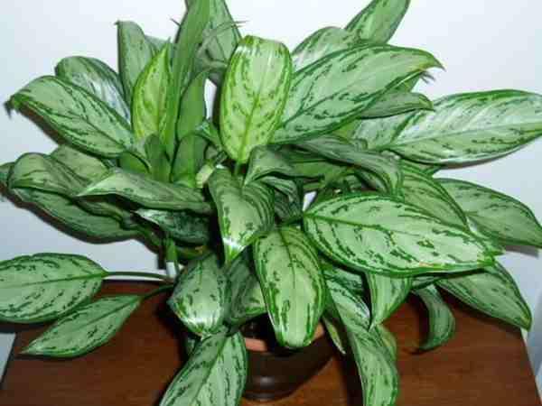 Aglaonema atau Sri Rejeki (Aglaonema crispum)