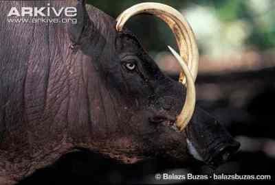 Babirusa Buru (Babyrousa babyrussa)