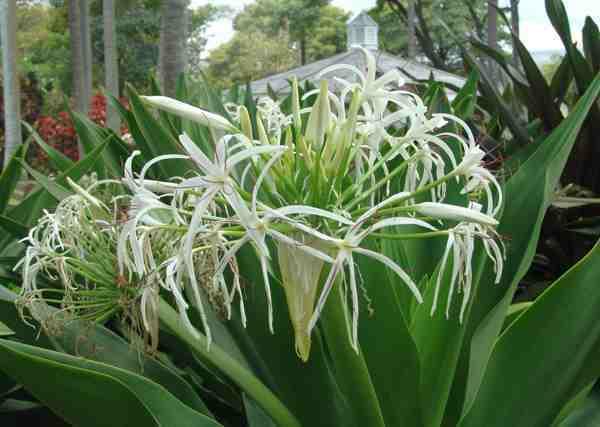 Bakung Putih atau Bakung (Crinum asiaticum)