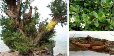 Pohon, batang, daung, dan bunga Stigi (Pemphis acidula)
