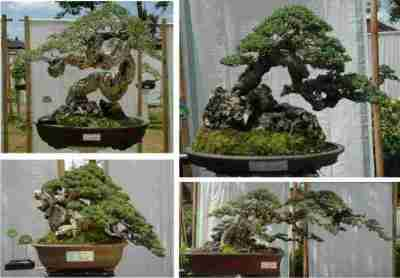 Bonsai Pemphis acidula Santigi