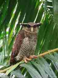 Bubo sumatranus (Beluk Jampuk, Hingkik)