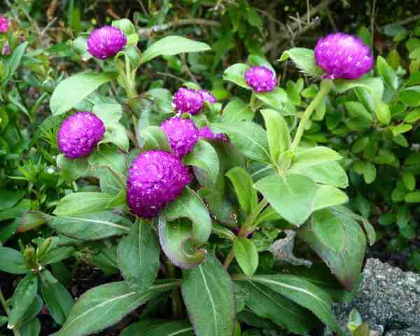 101 Nama Latin Bunga Dan Tanaman Hias Alamendah S Blog