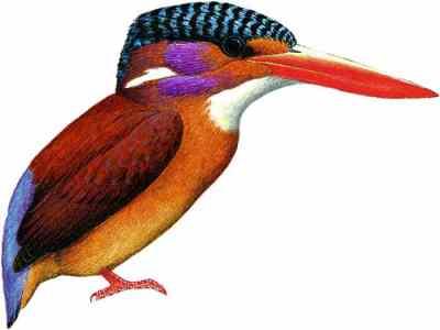 Burung Udang-merah Sangihe (Ceyx sangirensis)