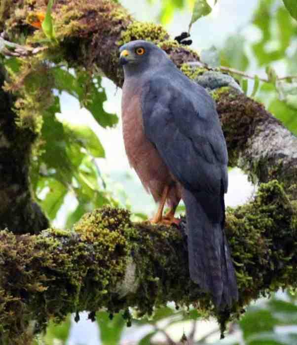 Burung Elang-alap Halmahera (Accipiter henicogrammus)