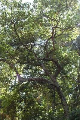 Pohon Ganitri (Elaeocarpus serratus)