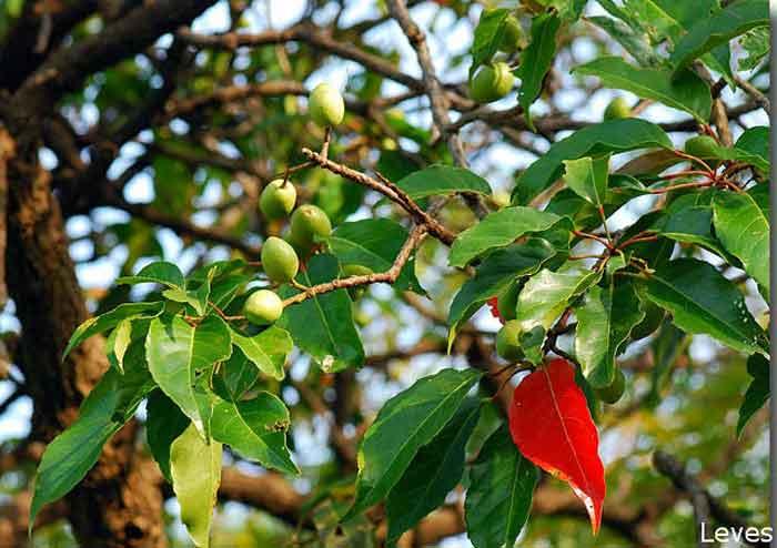 Daun dan buah Ganitri (Elaeocarpus serratus)