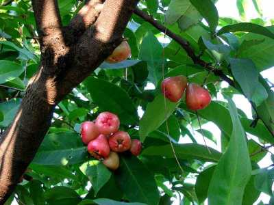 Pohon Jambu Semarang