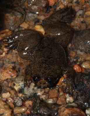 Katak Kepala-pipih Kalimantan (Barbourula kalimantanensis) 3