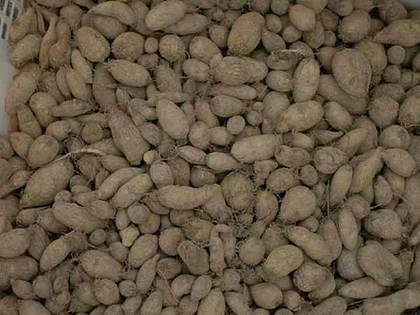 Umbi Kentang Jawa Plectranthus rotundifolius