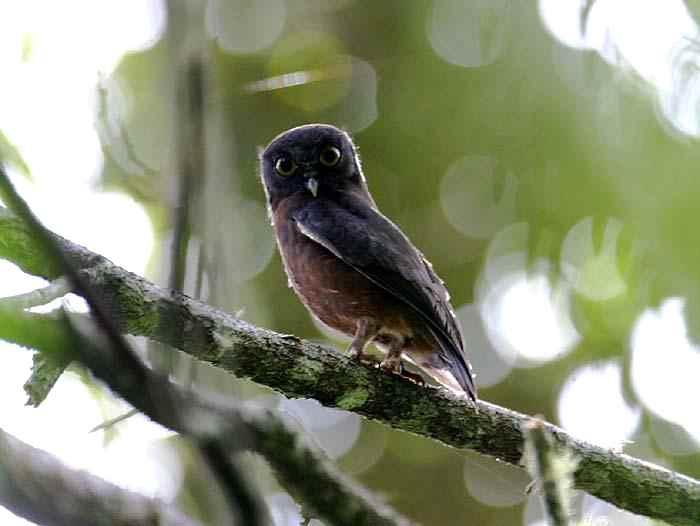 Ninox theomacha (Punggok Rimba, Pungguk Papua)