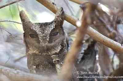 54 Jenis Burung Hantu Di Indonesia Alamendah S Blog Laman 3