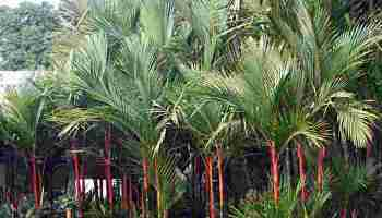 Palem Merah Pinang Merah Cyrtostachys Renda Maskot Jambi Alamendah S Blog