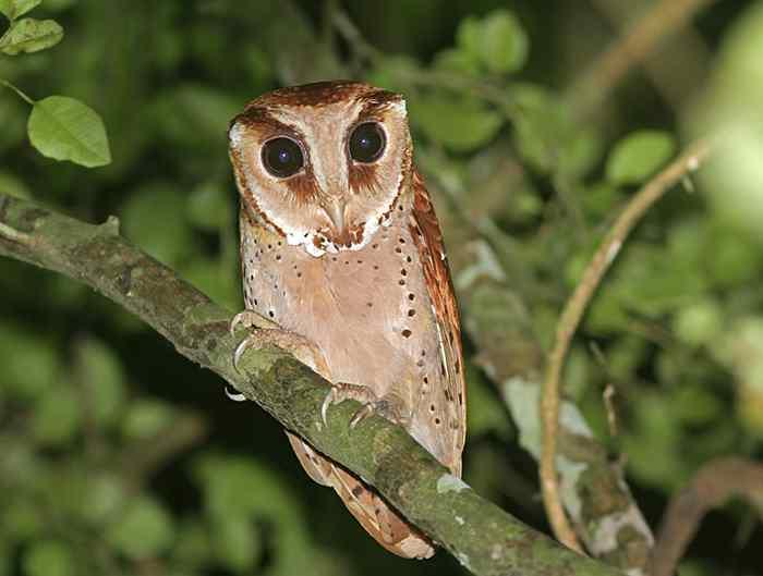 Phodilus badius (Serak Bukit, Wowo-wiwi)   Alamendah's Blog