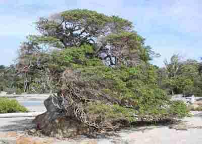 Pohon Stigi (Pemphis acidula)