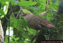 Burung Poksay Kuda (Garrulax rufifrons)