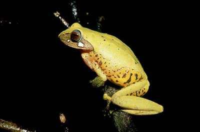 Rhacophorus angulirostris (Masked Tree Frog)