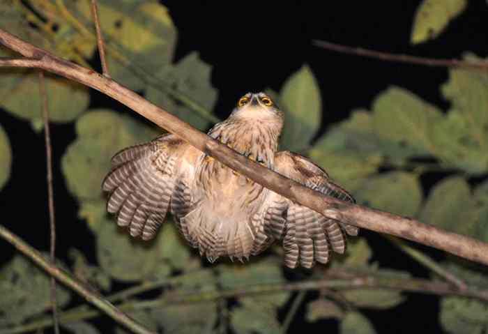 54 Jenis Burung Hantu Di Indonesia Alamendah S Blog