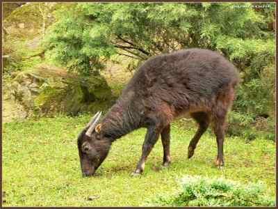 Anoa Pegunungan (Bubalus quarlesi)