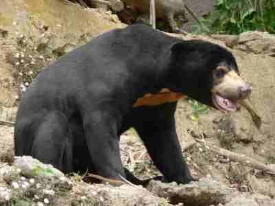 Beruang Madu (Helarctos malayanus)