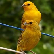 Unduh 90+  Gambar Burung Kenari Yg Cantik HD Terbaru Free