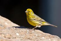 Gambar Burung Kenari