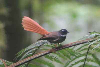 Burung Kipasan Ekor-merah (Rhipidura phoenicura) 02