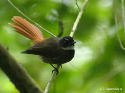 Burung Kipasan Ekor-merah (Rhipidura phoenicura)