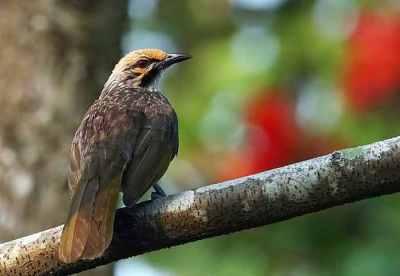 Cucak Rowo (Pycnonotus zeylanicus)