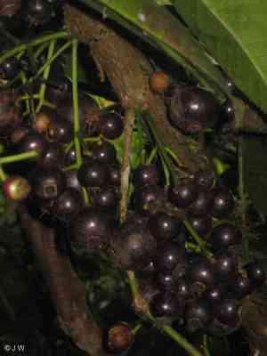 Buah Gowok (Syzygium polycephalum)