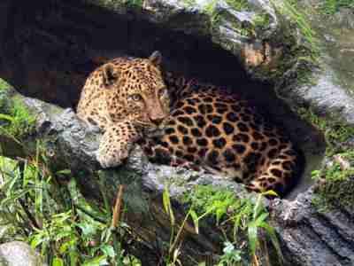 Macan Tutul Jawa (Panthera pardus melas) Gambar Fajar Andriyanto