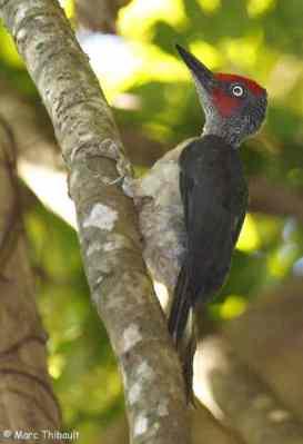 Pelatuk Kelabu-Sulawesi - Mulleripicus fulvus