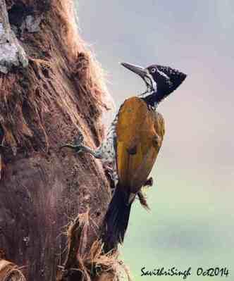 44+ Foto Gambar Burung Pelatuk Ulam  Terbaik