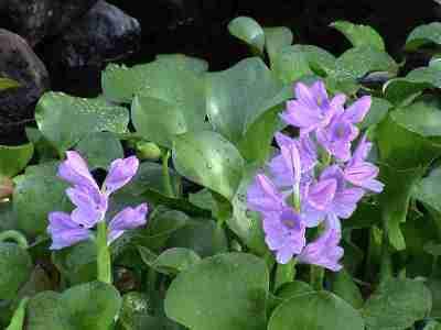 Eceng Gondok (Eichhornia crassipes)